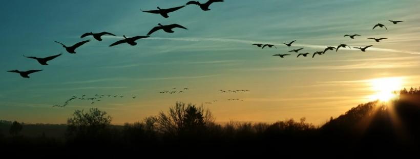 Canada-Geese-by-Zizar-e1495128008812